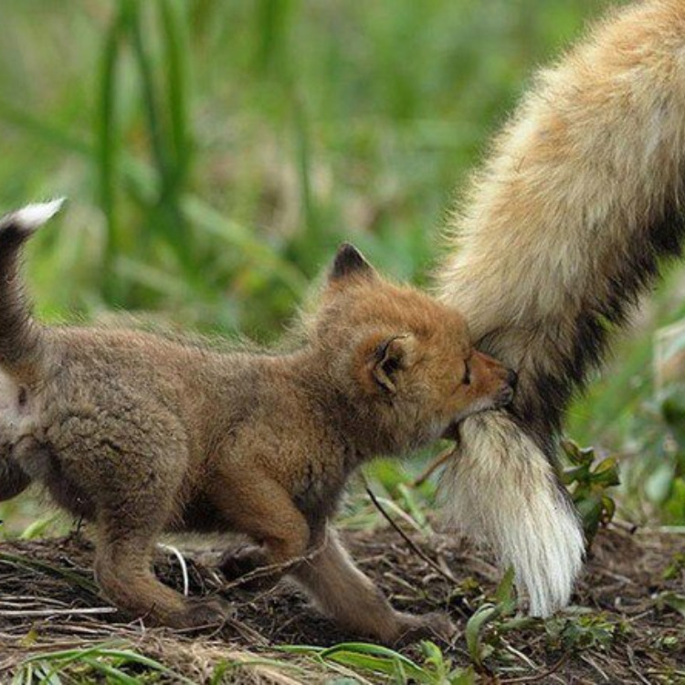 foxrir